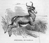 Antelope Black And White Image
